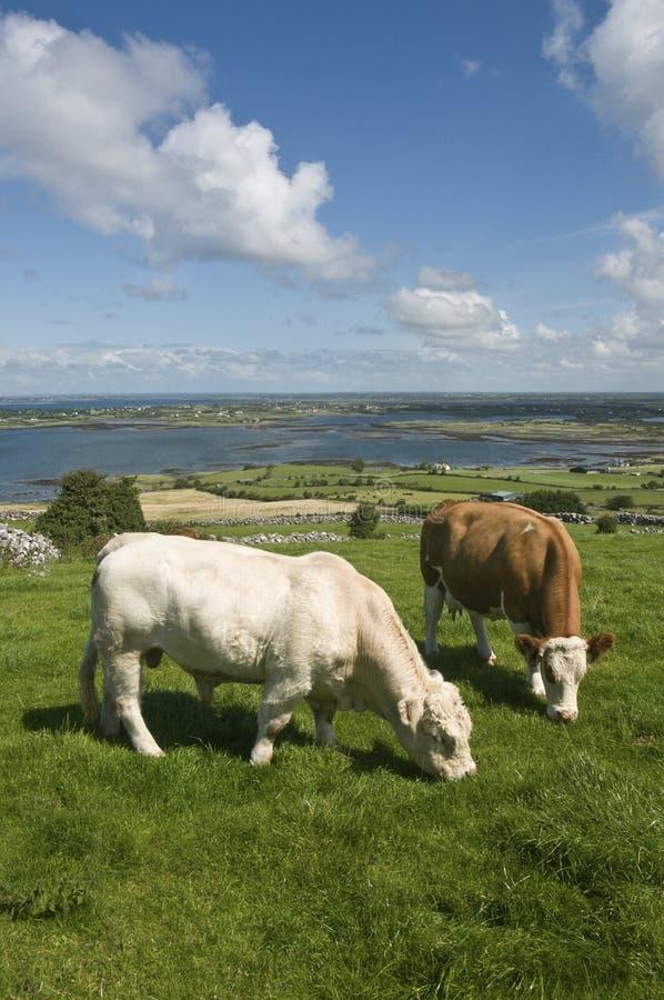 коричневая белизна коровы быка стоковая фотография
