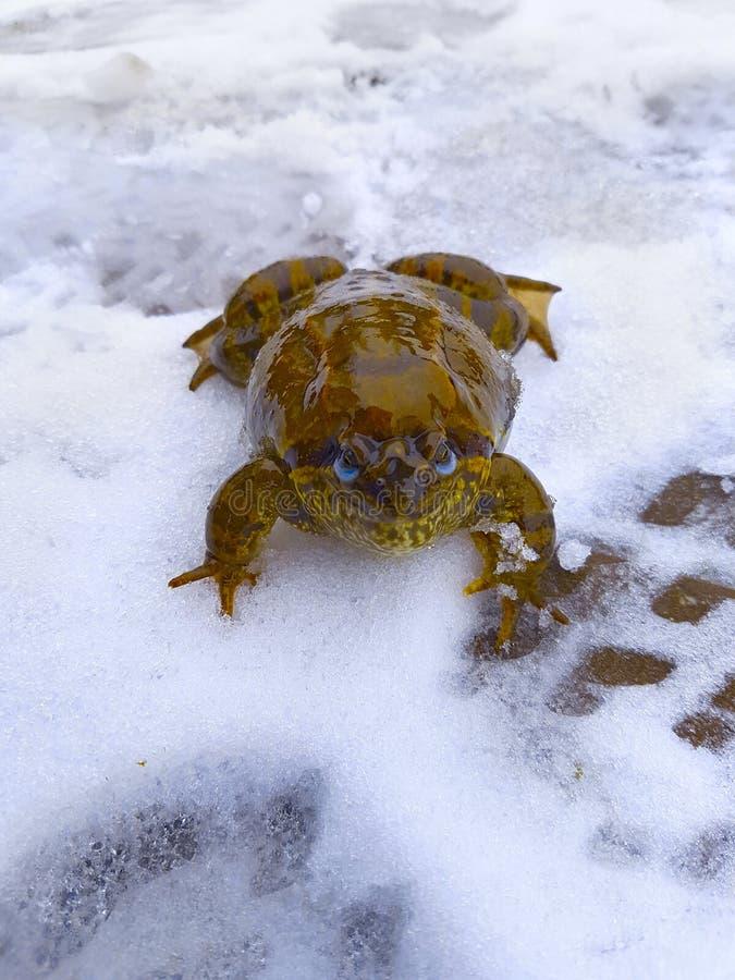 Коричневая жаба, лягушка с голубыми глазами на первом снеге, смотрит в камеру стоковая фотография