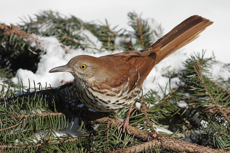 коричневая зима thrasher стоковая фотография rf