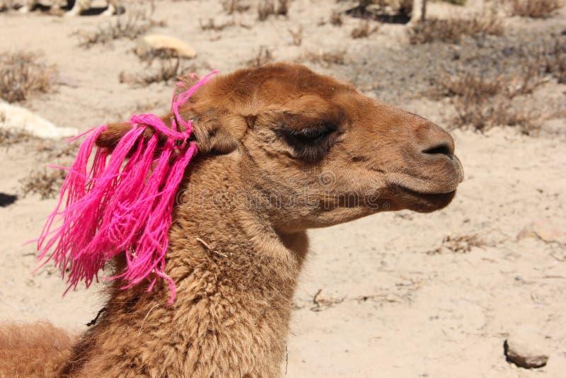 Коричневая лама в Перу стоковая фотография rf