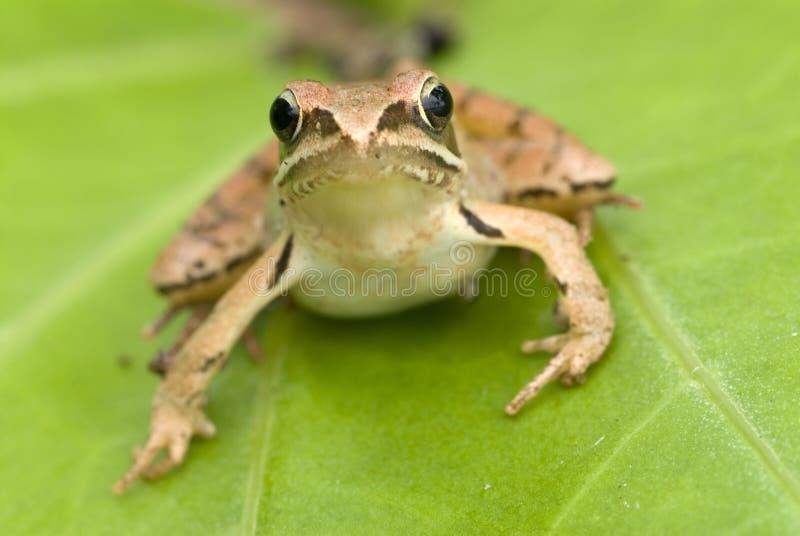 коричневая лягушка стоковое фото