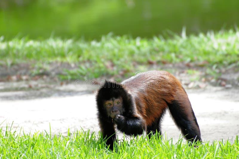 коричневая обезьяна стоковые изображения