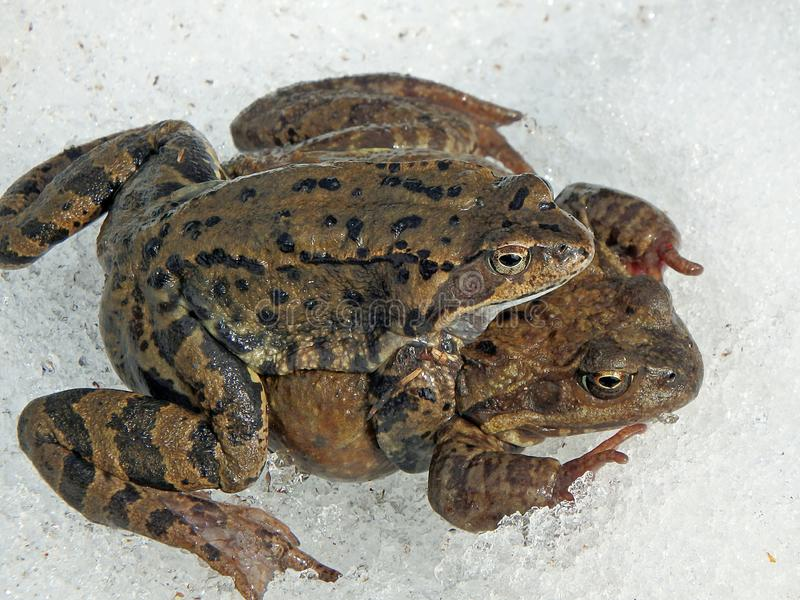 коричневая общяя европейская лягушка стоковое фото