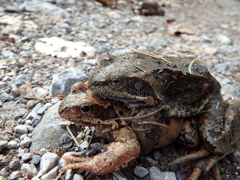 коричневая общяя европейская лягушка стоковые изображения