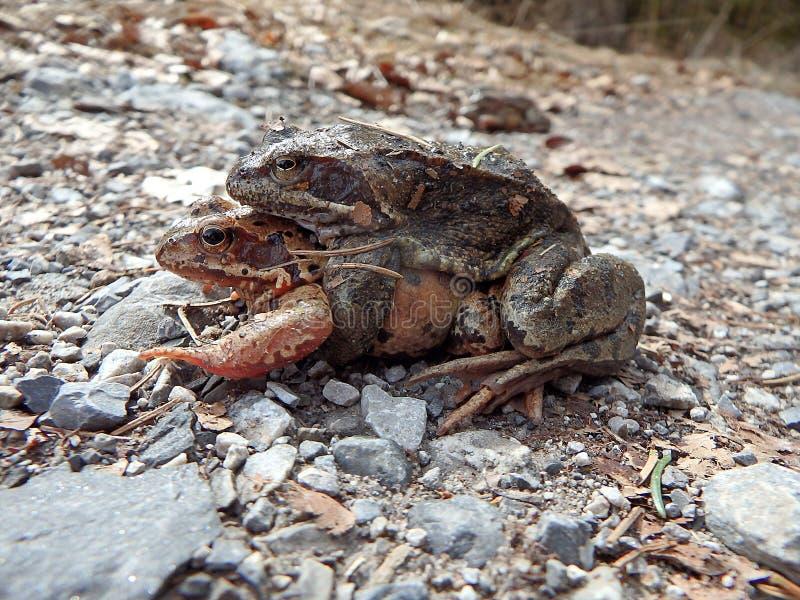 коричневая общяя европейская лягушка стоковое фото rf
