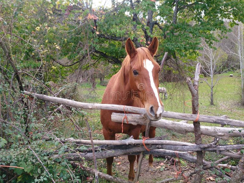 коричневая лошадь с белой заплатой стоковое изображение rf