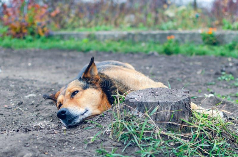 Коричневая собака спит на том основании в саде стоковые изображения