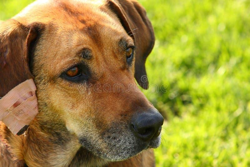 коричневая собака стоковая фотография rf