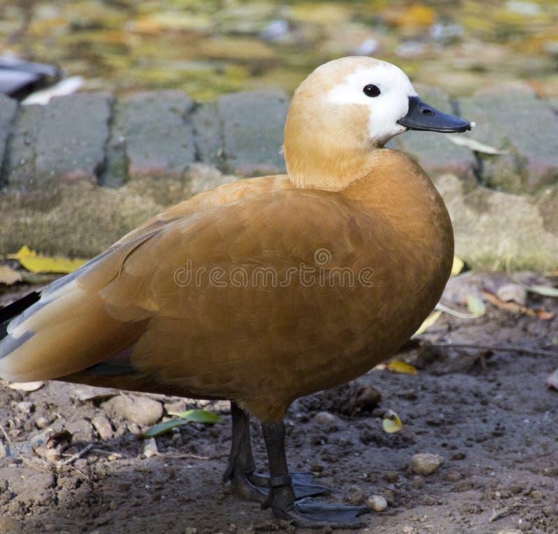 коричневая утка оперяется мягко стоковое изображение