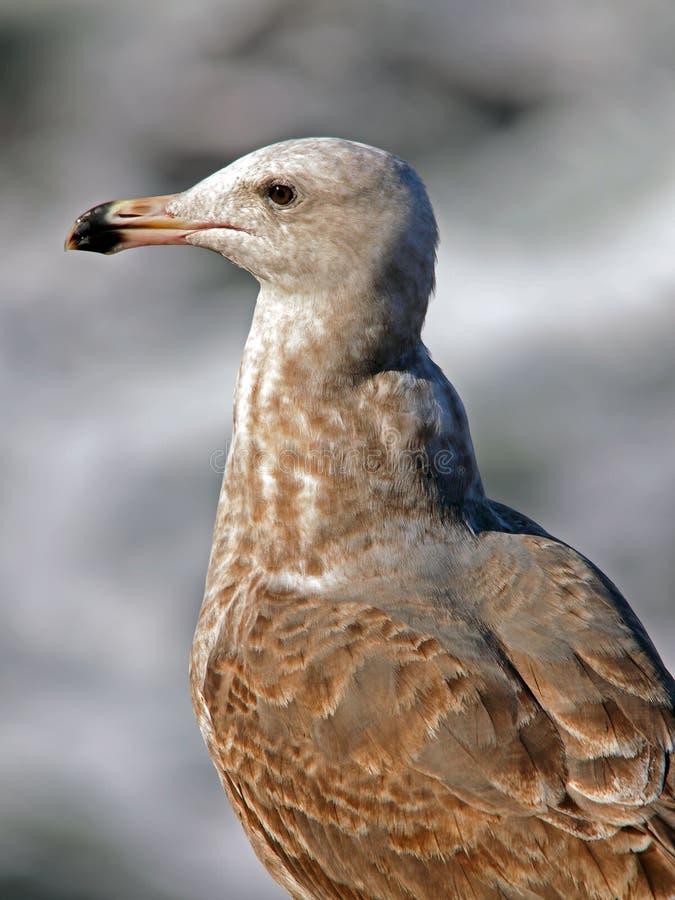 коричневая чайка стоковая фотография rf