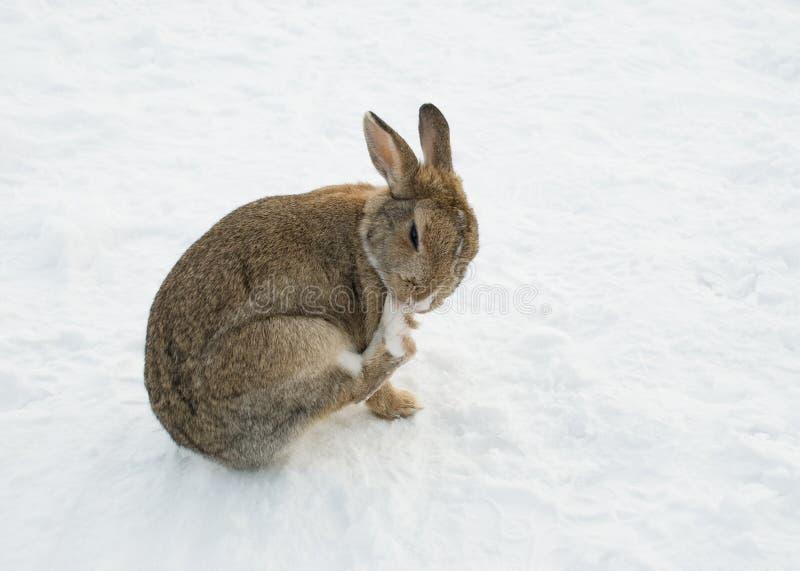 коричневая чистка его снежок кролика лапки стоковая фотография rf