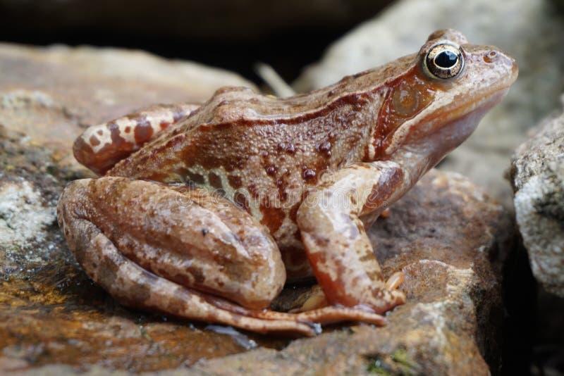коричневая лягушка шлямбура стоковые фотографии rf