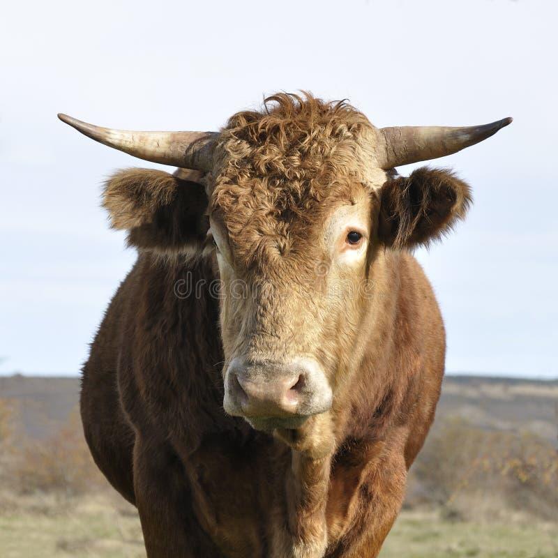 коричневейте быка стоковое изображение
