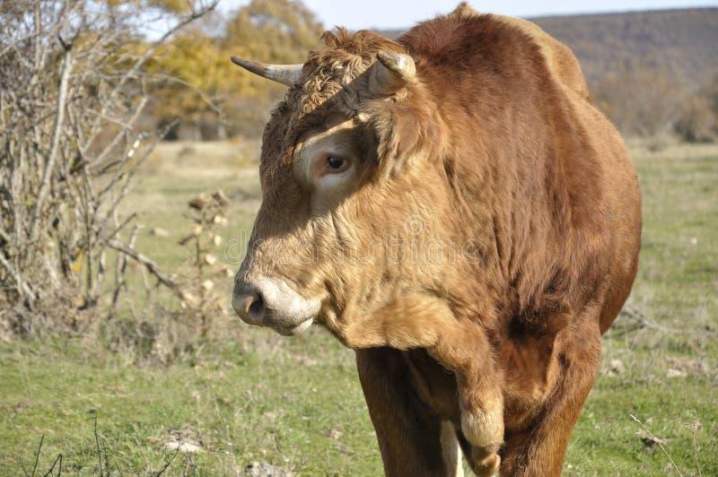 коричневейте быка стоковая фотография rf