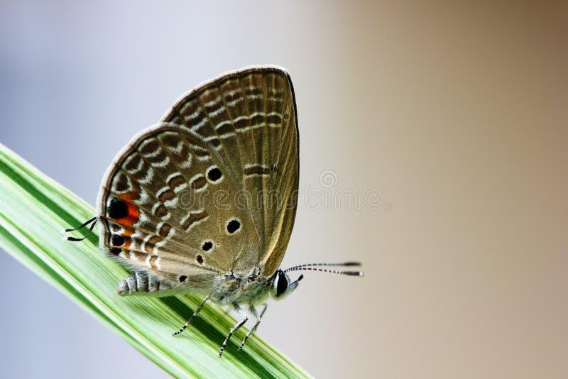 коричневейте крыла бабочки стоковые фото
