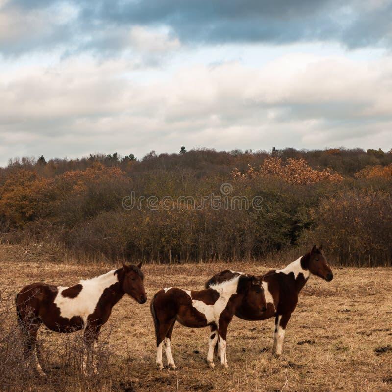 3 коричневое и белые лошади в paddock field осень стоковая фотография rf