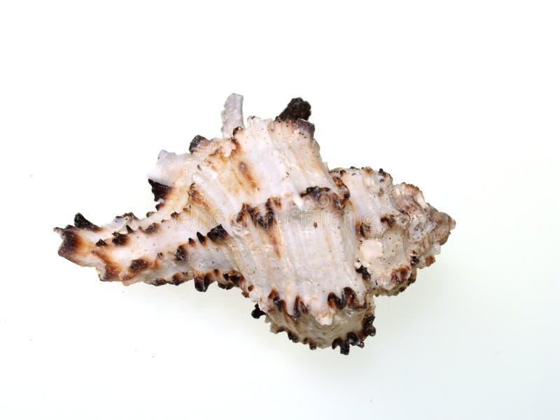 коричневой белизна spined раковиной стоковое изображение rf