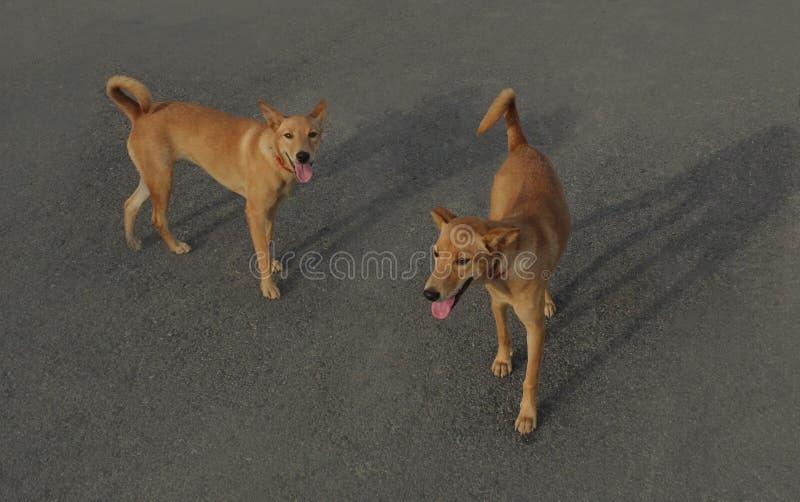 Коричневые бездомные собаки ищут еда на улицах города стоковое фото rf