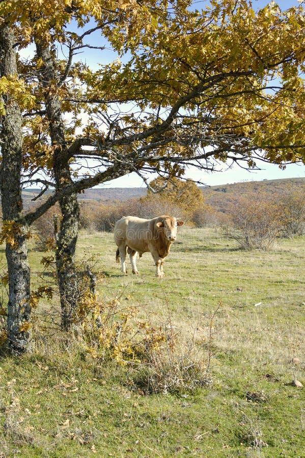 коричневые детеныши быка стоковые фото