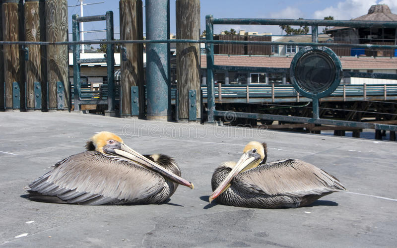 коричневые пеликаны стоковые изображения