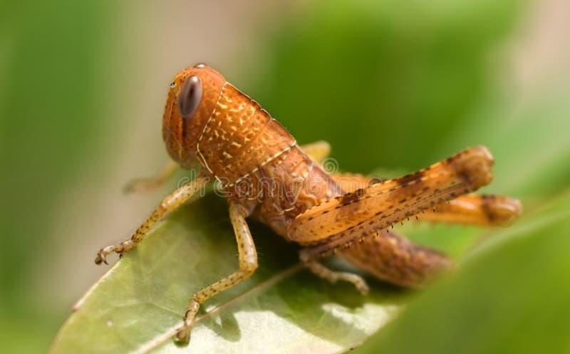 коричневый бич насекомого кузнечика сада стоковое изображение rf