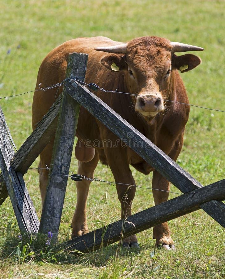 коричневый бык стоковая фотография