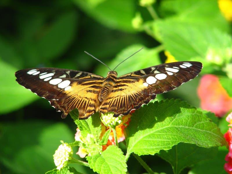 коричневый всасывать нектара клипера бабочки стоковые изображения rf
