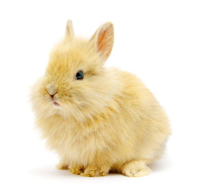 коричневый кролик малый стоковое изображение rf