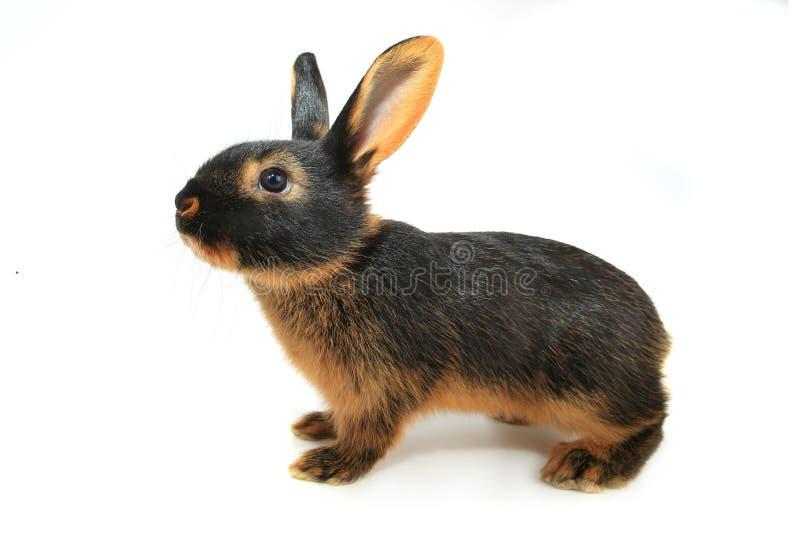 коричневый кролик стоковая фотография rf