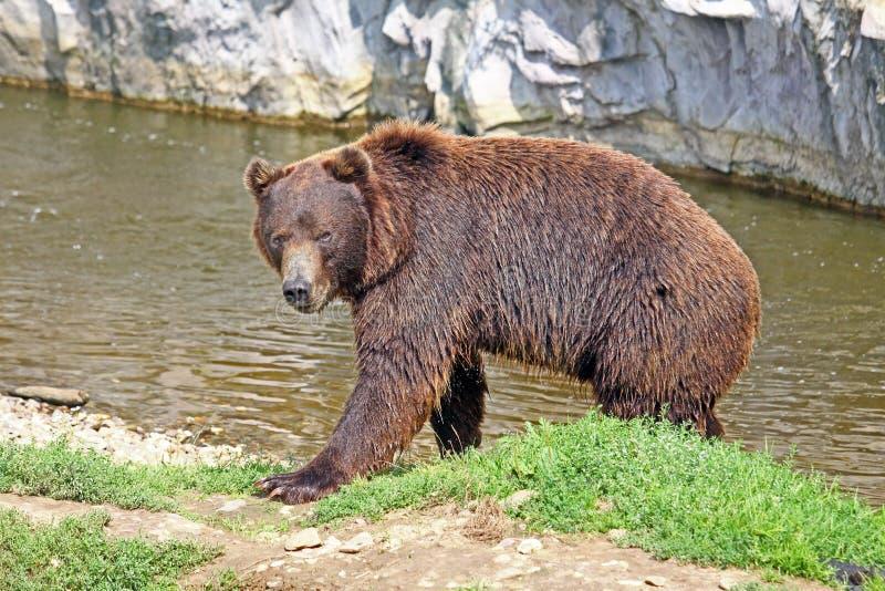 коричневый медведь стоковая фотография