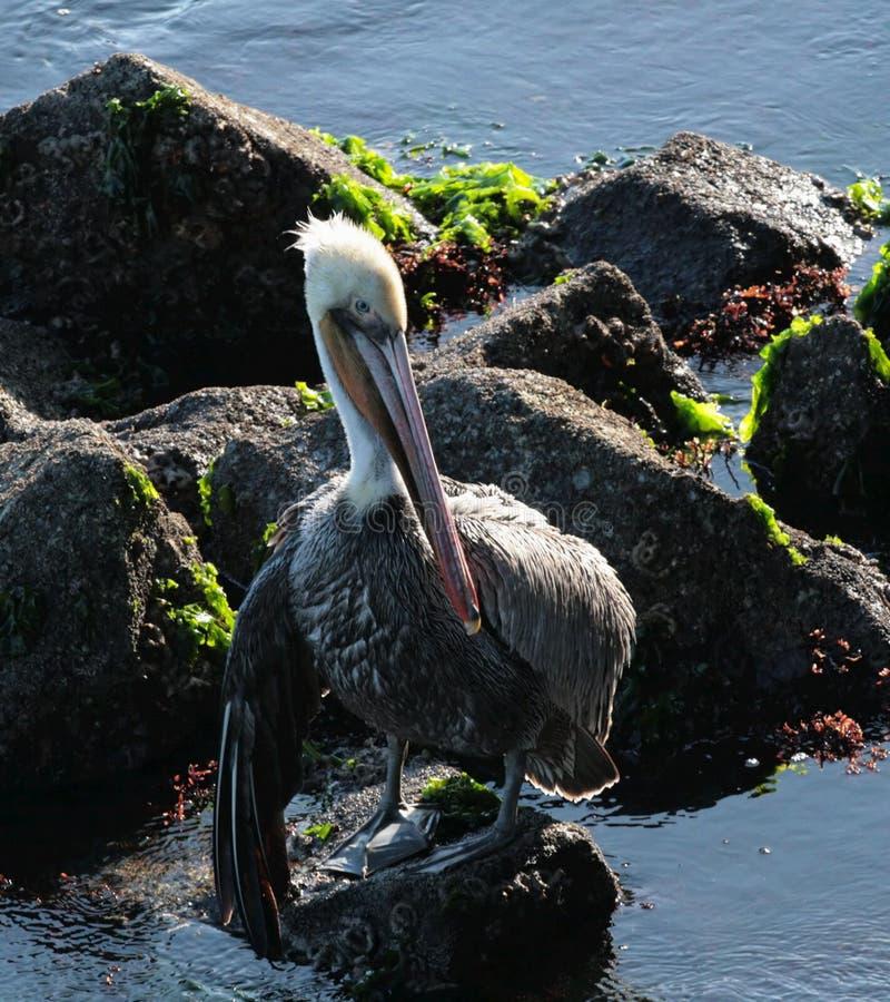 коричневый пеликан стоковая фотография rf