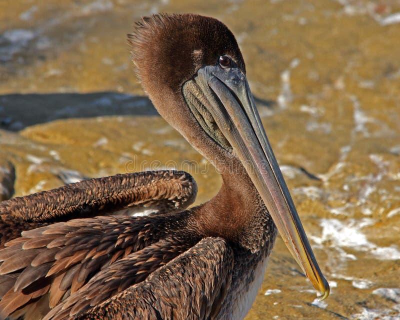 коричневый пеликан стоковое изображение