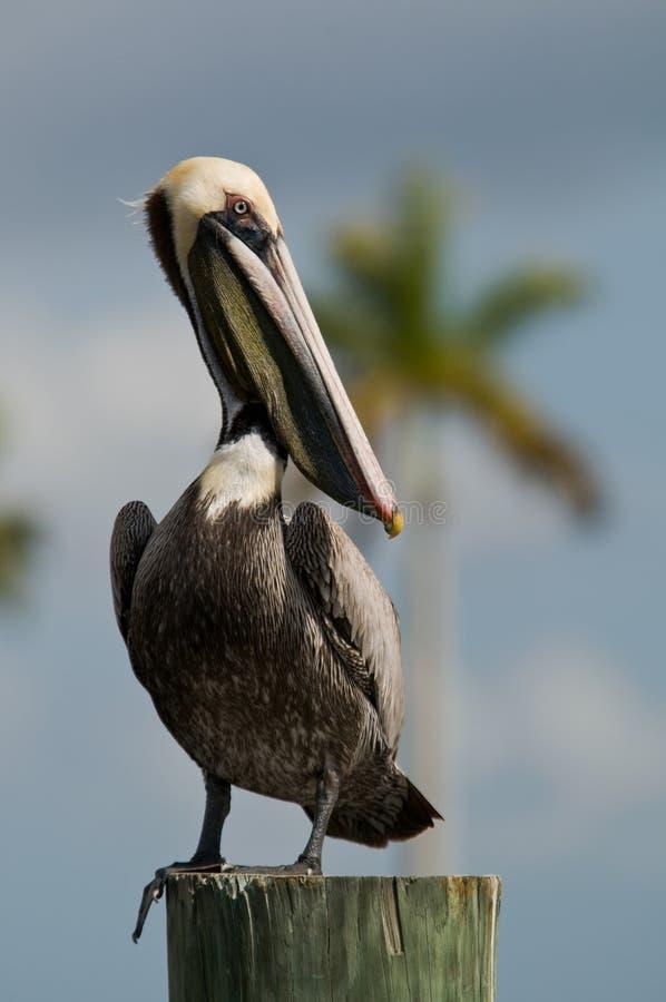 коричневый пеликан florida стоковое изображение rf
