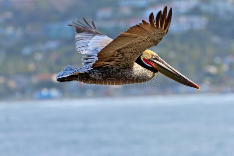 коричневый пеликан полета стоковое изображение