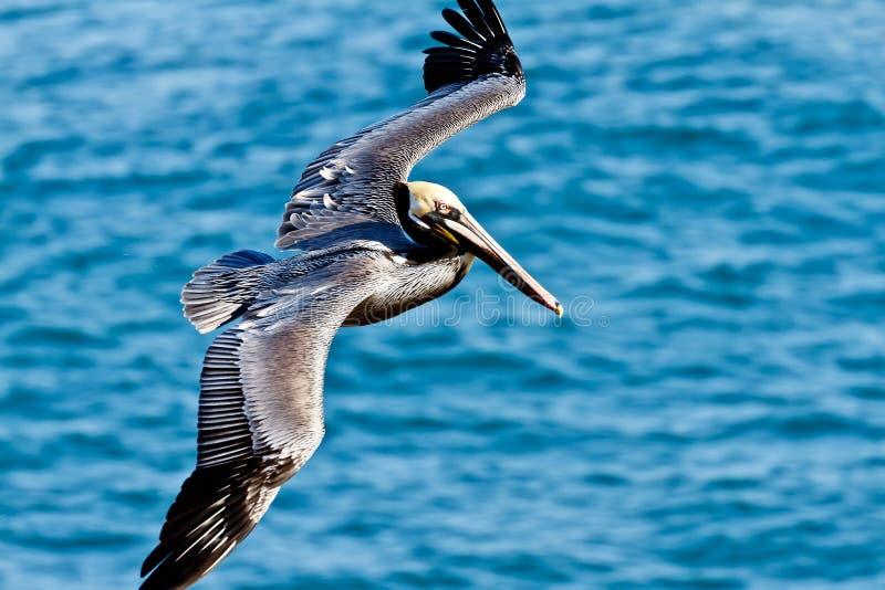 коричневый пеликан полета стоковое изображение rf