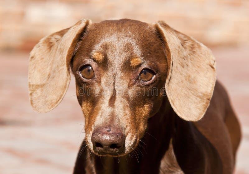 Download коричневый портрет темноты Dachshund крупного плана Стоковое Фото - изображение насчитывающей алеаторный, sunlight: 18398334