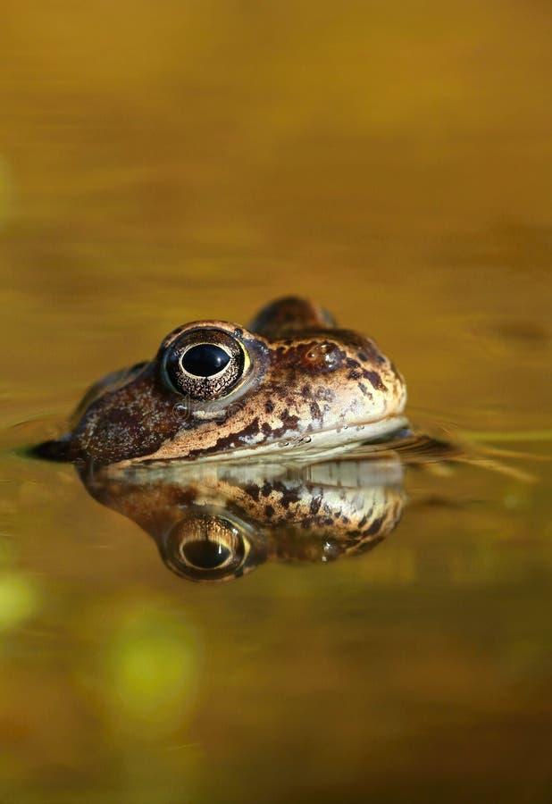 коричневый пруд лягушки стоковые фото