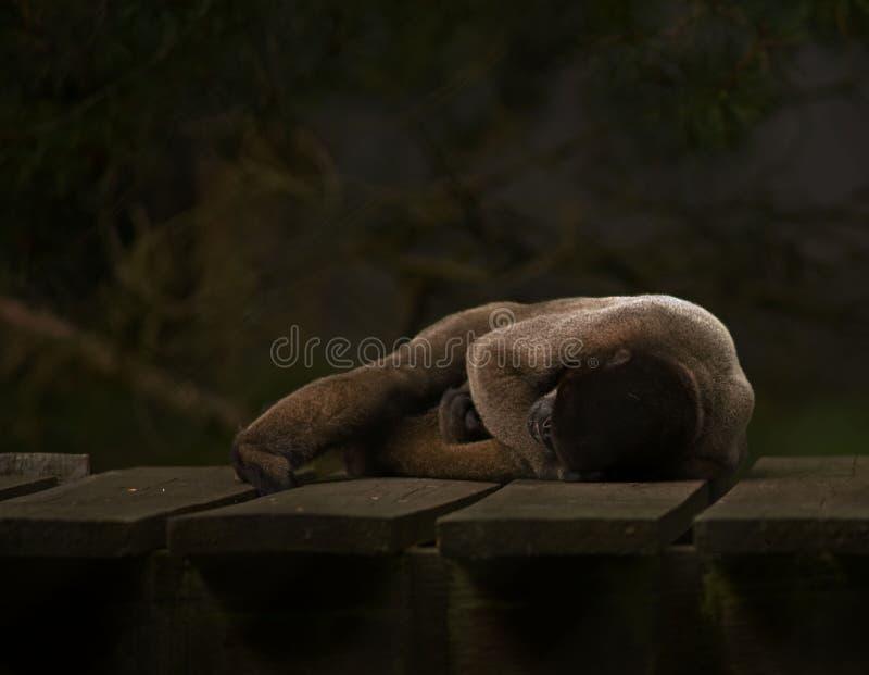 коричневый спать обезьяны шерстистый стоковое изображение rf