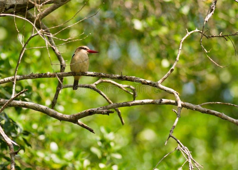 коричневый с капюшоном ждать prey kingfisher стоковая фотография rf