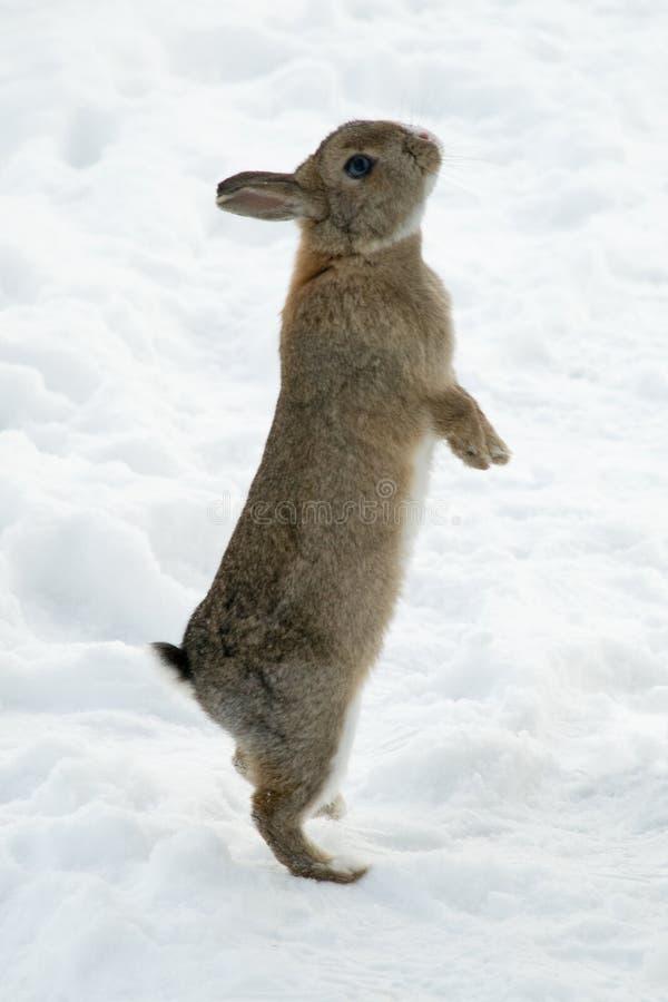 коричневый цвет backfeet его положение снежка кролика стоковое изображение