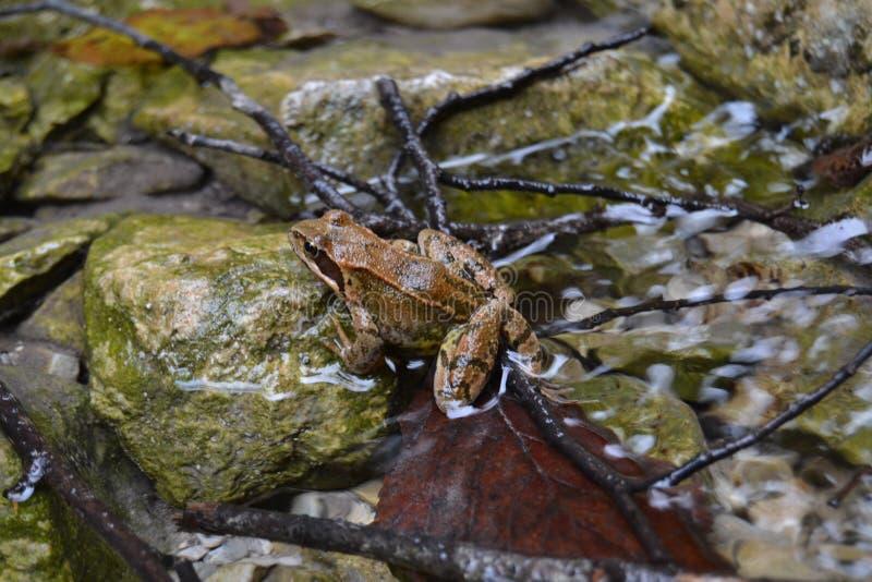 Коричневый цвет sharpwet речной воды лягушки животный славный стоковое фото rf
