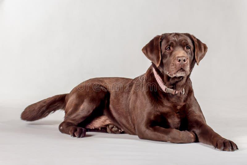 коричневый labrador стоковая фотография rf