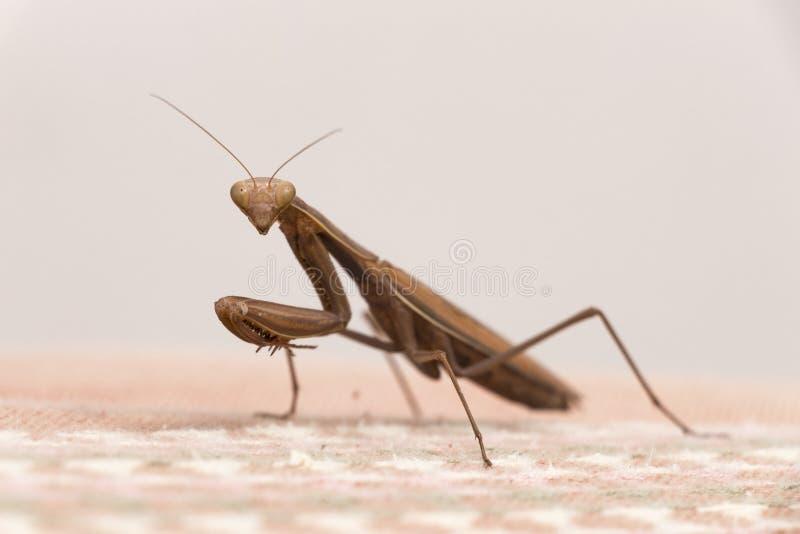 коричневый mantis моля стоковое изображение rf