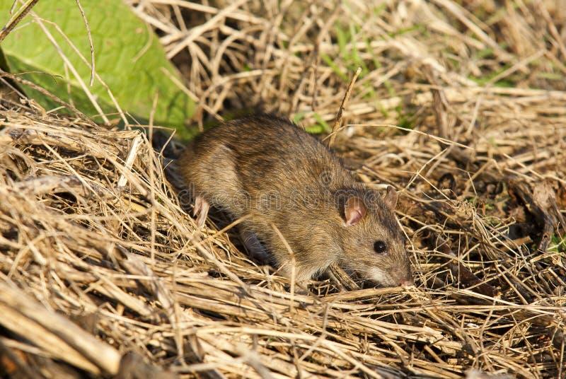 коричневый rattus крысы norvegicus стоковое изображение rf