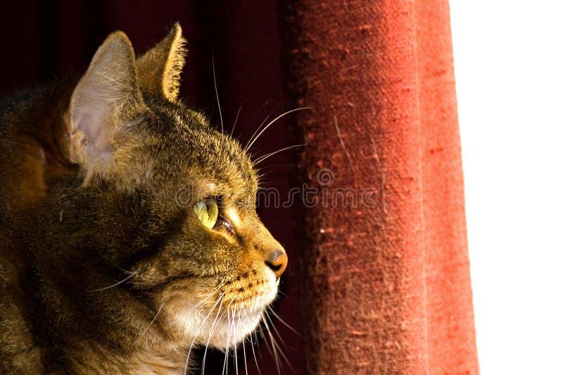 коричневый tabby профиля кота стоковое фото