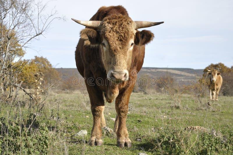 2 коричневых быка в луге в Испании стоковое изображение
