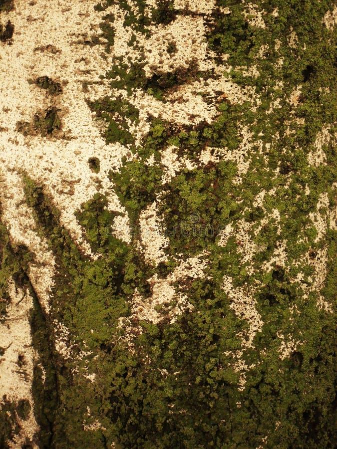 Корка березы стоковое изображение