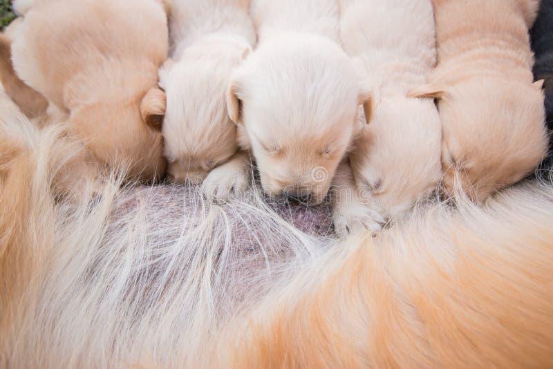 Кормить грудью грудью щенок стоковые фотографии rf