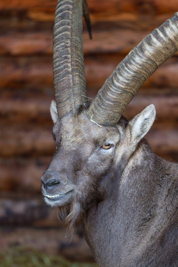 Кормка смотря высокогорный Ibex стоковые фото