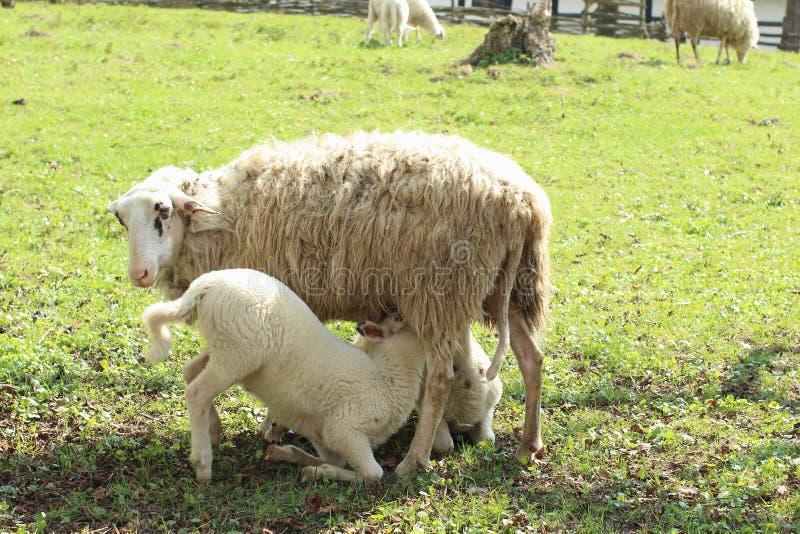 Кормя грудью овцы стоковые фото